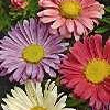 Asters Salome