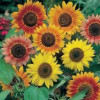Helianthus solsikke Sunburst Mix.
