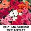 Impatiens.wal. Mr F's Mixed, Flittig Lise