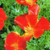 Guldvalmue Eschscholzia Red Chief Californian Poppy