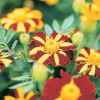 Tagetes patula Mr. Majestic