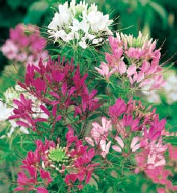 Edderkoppeplante, Cleome Colour fountain