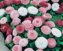 Bellis Daisy Goliath Mixed