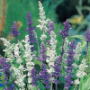 Salvia, Have-Salvie. Blue and white mix