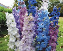 Delphinium, ridderspore, High Society Mix