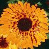 Morgenfrue Princess orange black Calendula