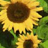 Helianthus Solsikke Holiday