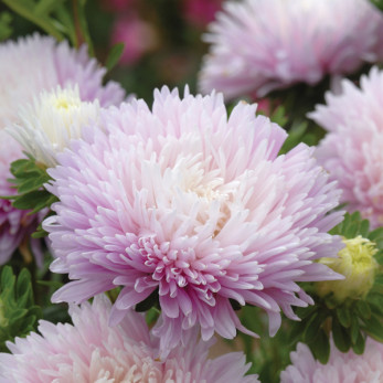 Asters, Kingsize Appleblossom