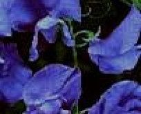Lathyrus Royal Navy Blue