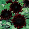 Helianthus solsikke Black Magic F1