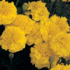 Tagetes yellow jacket