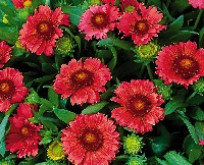 Gaillardia Kokardeblomst Arizona Red Shades