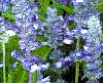 Salvia far. Fairy QueenTexas salvie 55 cm