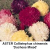 Asters Callistephus chi.Duchess Mix