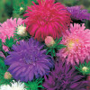 Asters, Ostrich feather