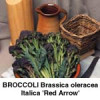 Broccoli Red Arrow