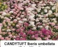 Sløjfeblomst. Candytuft Iberis umbellata Fairy Mixed
