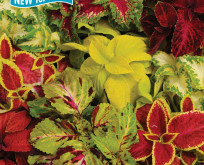 Coleus, paletblad, Rainbow mix