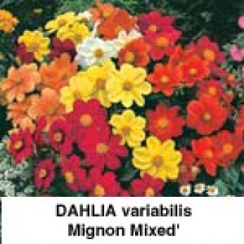 Dahlia variabilis Mignon Mixed