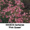Diascia bar., Tvillingeblomst, Pink Queen