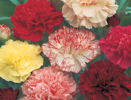 Dianthus caryophyllus, Choice Double Mixed, havenillike Mix