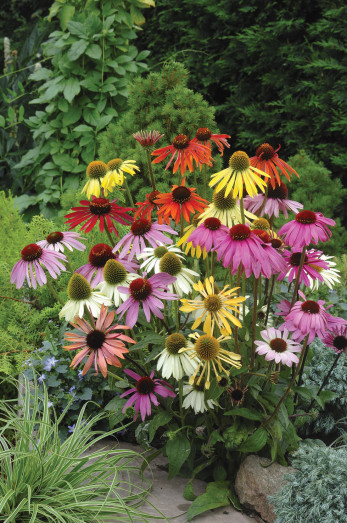 Echinacea, solhat, Dreamcoat