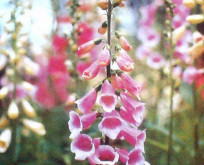 Fingerbølblomst, Digitalis purpurea blanding 90