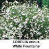 Lobelia erinus White Fountain