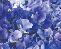 Lathyrus Singing The Blues