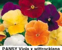 Viola Stedmoderblomst, Clear Crystals Mix