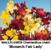 Cheiranthus Gyldenlak. Monarch Fair Lady