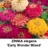 Zinnia elegans Early Wonder Bl.