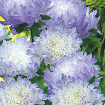 Asters Duchess Blue Ice
