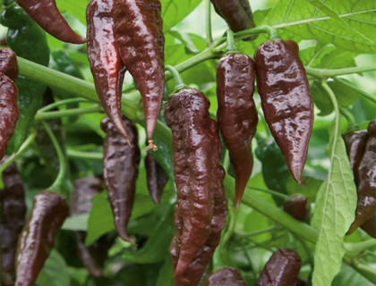 Chili Naga black