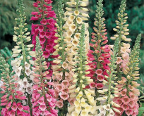 Fingerbøl, Digitalis, Excelsior Mixed