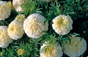 Tagetes African Snowdrift