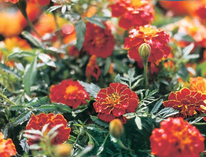 Tagetes patula Red Brocade