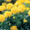 Tagetes patula Yellow Boy