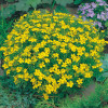 Tagetes Lemon Gem