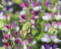 Lupin, Avalune Bicolour Mix