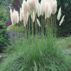 Cortaderia White Feather Pampasgræs