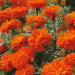 Tagetes Kees Orange