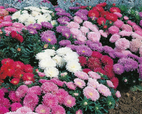 Asters Callistephus Milady Mixed