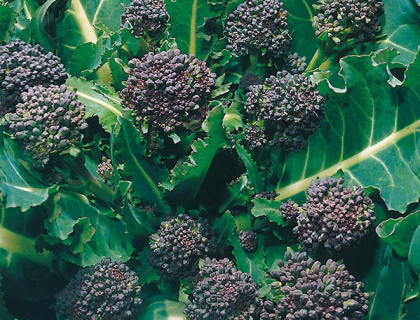 Kål Broccoli Tidlig Lilla.Early Purple Sprouting