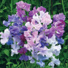 Lathyrus Twilight