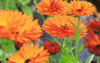 Morgenfrue Orange Calendula