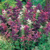 Salvia Horminum Bouquet Mix