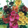 Stokrose. Althaea Simplex, Giant single Mix