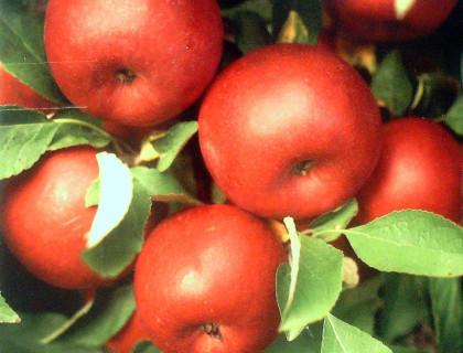 Æbleviklerfælde – viklerfælde mod orm i æbler