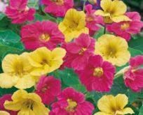 Nasturtium, Tropaeolum, Blomsterkarse, Summer Carousel